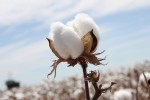 cotton stoma new